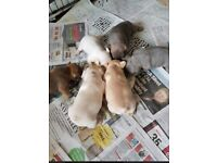 stunning maskless french bulldog puppies KC registered 5 weeks old