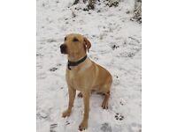 Labrador male for sale