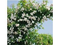 White climbing rose plant