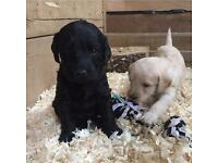 F1 generation Labradoodle puppies for sale