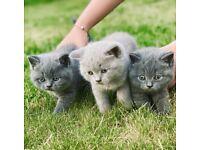 3 GCCF REGISTERED British Shorthair Cats