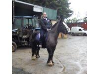 Cob mare, horse,pony