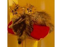 STUNNING PERSIAN KITTENS READY NOW 4 SALE