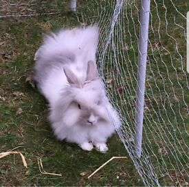 RABBIT WITH CAGE, HUTCH AND RUN