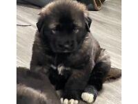 Caucasian Shepherd Puppies For Sale not German shepherd