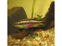 Dwarf Rainbow Cichlid ( Pelvicachromis pulcher )
