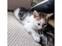 Tabby kitten male,female