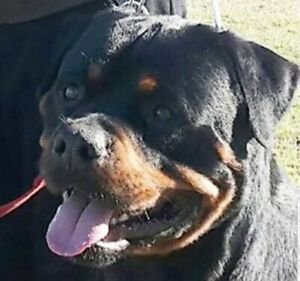 rottweiler | Dogs & Puppies | Gumtree Australia Free Local