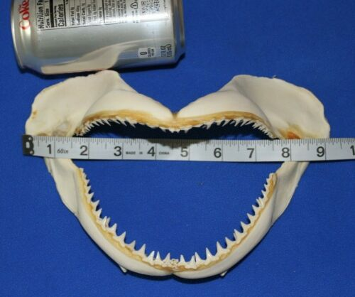 Shark Lover Fathers Day Gift Real Shark Jaw w/ Teeth Authentic, 9 inch +, SS-58