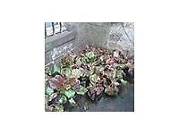 bergenia plants in pots