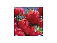 Wanted: 10 Mara du Bois Strawberry Plants