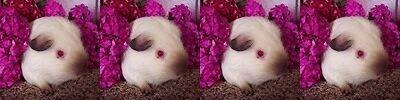 Piggy Bliss guinea pig beds