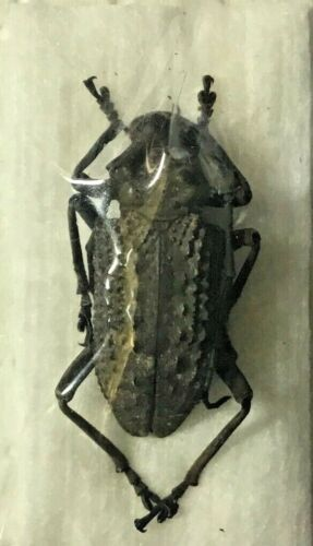 Cerambycidae: Trachystola granulata - Malaysia