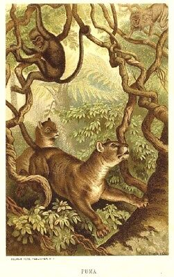 1885 Prang Chromo PUMA/PANTHER/JAGUAR/LION Big JUNGLE CAT Print L@@K NICE!