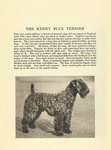 Kerry Blue Terrier - 1931 Vintage Dog Print - MATTED