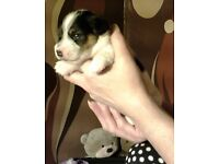 2 minture jack russell puppies