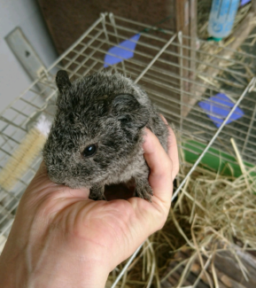 Baby male silver agouti Rex guinea pig. Available 2nd week Dec.