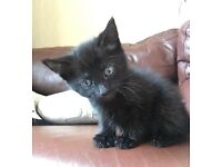 Beautiful male kittens available