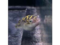 (Five) figure 8 Puffer fish for sale