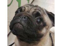Puppie Boy Pug for sale £750