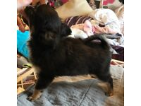 Kc registered long coat black tri Chihuahua boy,age 8 months