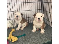 2 Healthy Male English Bulldog Puppies KC Reg, Ready to go now! 1st Vac and Microchip, wormed,