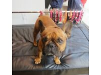French bulldog free