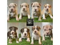 Xl American bully pups