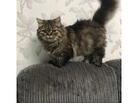 Pedigree chinchilla male persian cat kitten