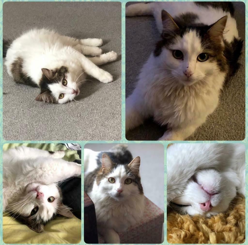 1 year old domestic long haired cat kitten for sale