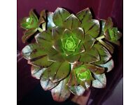 Aeonium BRONZE MEDAL Succulent with Offset(s) 10cm Head *Available To Buy On ebay, Read Description*