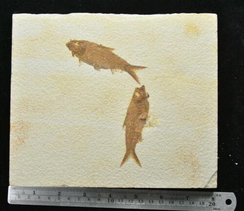 Knightia eocaena Double Fossil Fish Gastropod Green River Formation Wyoming