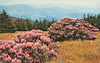 Purple Rhododendron in Bloom in Southern Appalachian Mountains TN Postcard G-17
