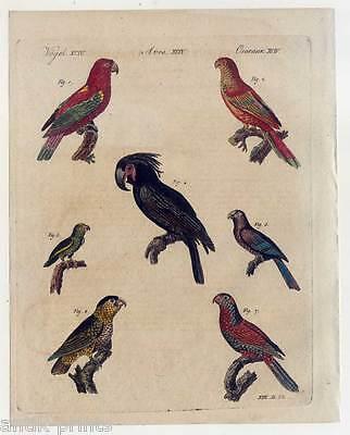 Merkwürdige Papageyen-Parrots-Vögel-Lori - Bertuch-Kupferstich 1810 Papageien