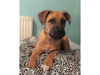 German Shepard cross puppy for sale