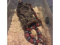 Milk snake for sale