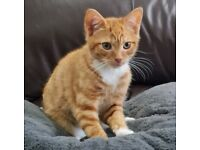 Beautiful Ginger Kitten Boy 14 Weeks Old