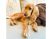 Archie The Cocker Spaniel Pup