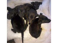 Cocker x labrador puppies GORGEOUS