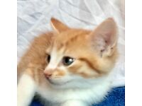 Gorgeous Ginger from litter of 5 Kittens