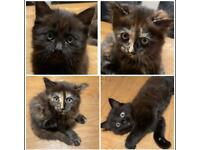 Two Gorgeous Kittens 1 male & 1 female