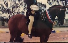 Showing/Dressage - Horse tack and gear - Large Galloway West Footscray Maribyrnong Area Preview