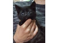 Black Ragdoll x Main Coon Male Kitten £150