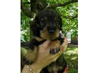 Dachshund puppy for sale