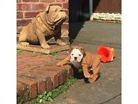Beautiful kc reg female bulldog puppy
