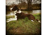 Collie cross rehoming