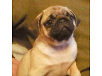 Two beautiful Pug puppies for sale