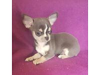 kc reg tiny blue chihuahua puppies