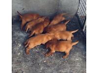 Labradors Dark fox red