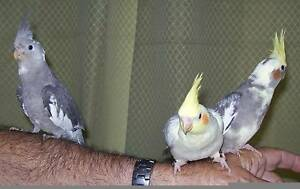 Cockatiel babies Inala Brisbane South West Preview